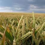 Hrvati protiv GMO-a samo kod kuće?