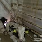 Prijatelji životinja: Hrvatska upletena u lanac zlostavljanja životinja u prijevozu