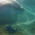 Institut Plavi svijet: Kod Lošinja pronađen veliki uginuli kit