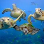 WWF: Zbog zagrijavanja ozbiljno ugrožena populacija australskih zelenih želvi