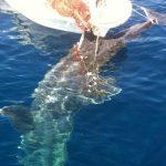 WWF traži oštrije kontrole nezakonitog ulova morskih pasa i raža na Mediteranu, propisi postoje ali se ignoriraju
